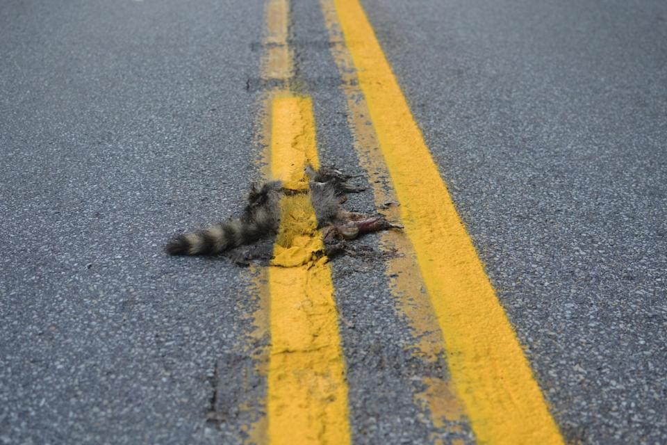 This photo provided by Sean McAfee from Thursday, Aug. 2, 2012, shows a dead raccoon that McAfee saw with the road dividing line painted over it before he stopped his motorcycle to take the picture on Franklin Rd. in Johnstown, Pa. According to PennDOT traffic engineer John Ambrosini, paint crews know to avoid such animals and usually have a foreman on the job to clear any dead animals off the road before the paint-spraying truck equipment passes by. This crew didn't have a foreman that day, and the equipment was too big to turn around in traffic on the curvy, narrow road so the line could be repainted without the carcass in the way. (AP Photo/Sean McAfee) NO SALES