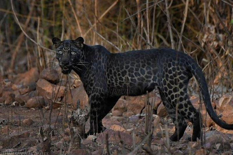 On First Trip to Wildlife Park, Pune Photographer Gets Lucky with a Snap of Majestic Black Leopard