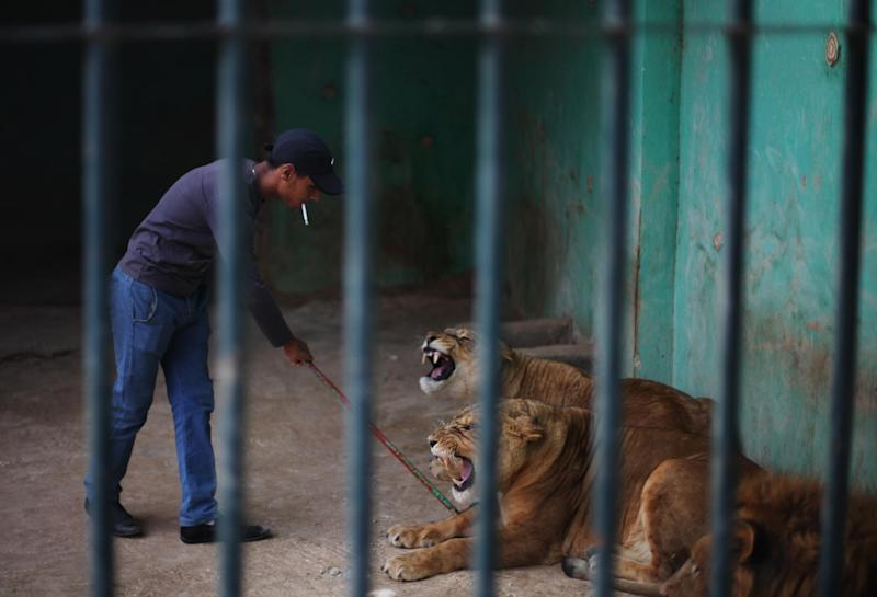 In this Sunday, Nov. 24, 2013 photo, Mahmoud, a zoo keeper, pokes lions with a metal stick to provoke them to roar as an attraction for visitors at a zoo in Amman, Jordan. Dog breeding coupled with dognapping is a thriving business in Jordan, where lax laws call for only a $7 fine for violators and police remain hesitant to pursue those suspected of animal abuse. Activists have campaigned for years for increased penalties, but lawmakers seem uninterested to pursue it in a culture where animal abuse remains rampant. (AP Photo/Mohammad Hannon)
