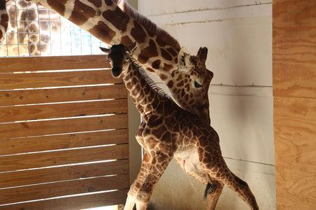 April helps her newly born unamed baby giraffe stand at the Animal Adventure Park, in Harpursville