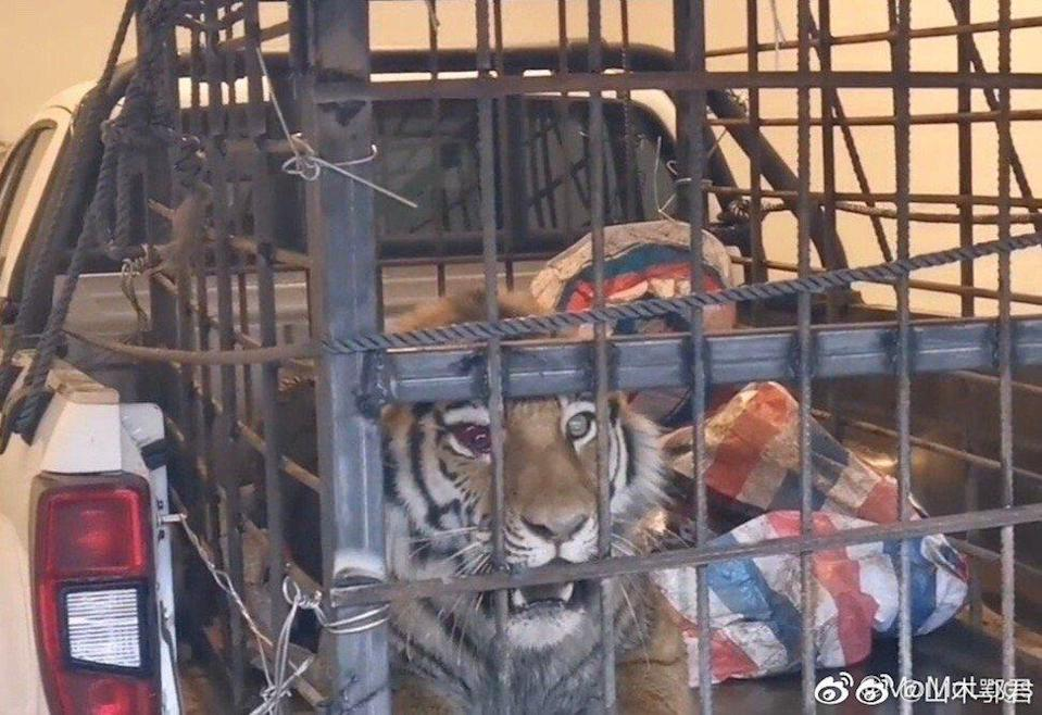 A wild Siberian tiger was caught by forestry officials in northeast China. Photo: Handout