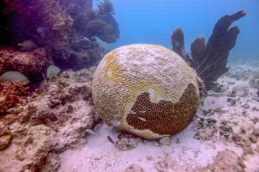 In a little over a year, the Mexican Caribbean has lost more than 30 percent of its corals to a little-understood illness called tony coral tissue loss disease, which causes them to calcify and die