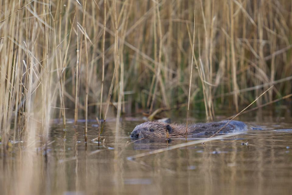 One of the beavers in the water