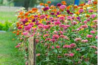 <p>This annual shrub is a successful pollinator plant of choice for those in USDA Hardiness Zones 2-11. These beauties bloom in the late spring through the first frost of fall. </p>