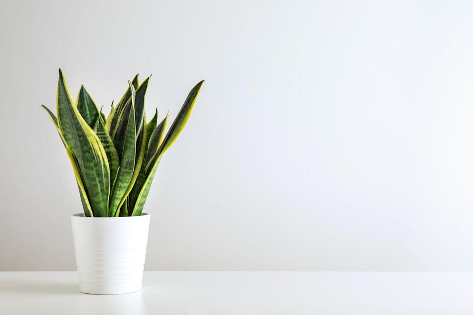 "<p>The Snake Plant — also known as the Mother-in-Law's Tongue — is perfect for the not-so-green-fingered. With long sword-like leaves, they need little attention and look brilliant placed on a side table. </p><p><a class=""link rapid-noclick-resp"" href=""https://go.redirectingat.com?id=127X1599956&url=https%3A%2F%2Fwww.gardeningexpress.co.uk%2Fvariegated-snake-plants-sansevieria&sref=https%3A%2F%2Fwww.housebeautiful.com%2Fuk%2Fgarden%2Fplants%2Fg34571764%2Ftrending-houseplants%2F"" rel=""nofollow noopener"" target=""_blank"" data-ylk=""slk:BUY NOW VIA GARDENING EXPRESS"">BUY NOW VIA GARDENING EXPRESS</a></p>"
