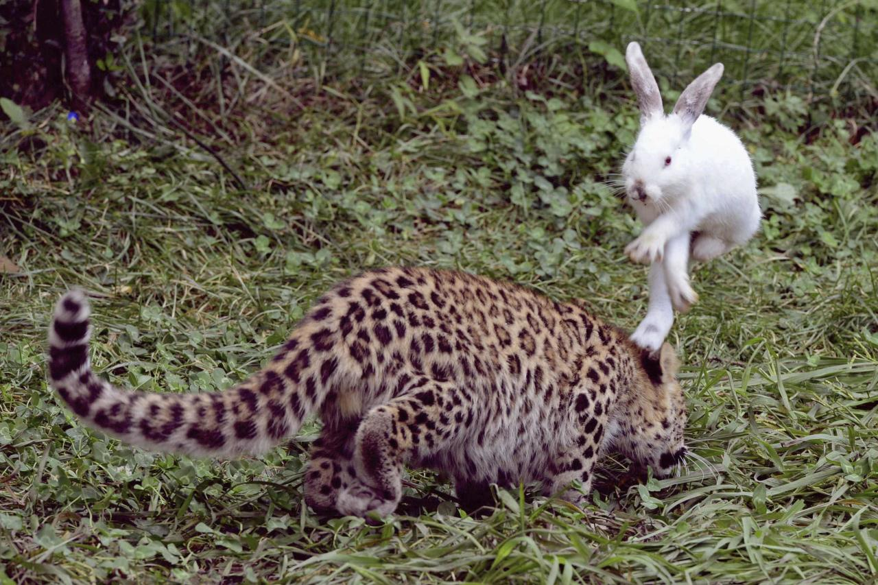 A rabbit hops to avoid a five-month-old leopard cub during a test of cubs' wild natural instincts at a wildlife park in Qingdao, Shandong province, September 10, 2013. The test is part of the park's body examination procedure on recent born tigers, lions and leopards, according to local media. Picture taken September 10, 2013. REUTERS/Stringer (CHINA - Tags: ANIMALS SOCIETY TPX IMAGES OF THE DAY) CHINA OUT. NO COMMERCIAL OR EDITORIAL SALES IN CHINA