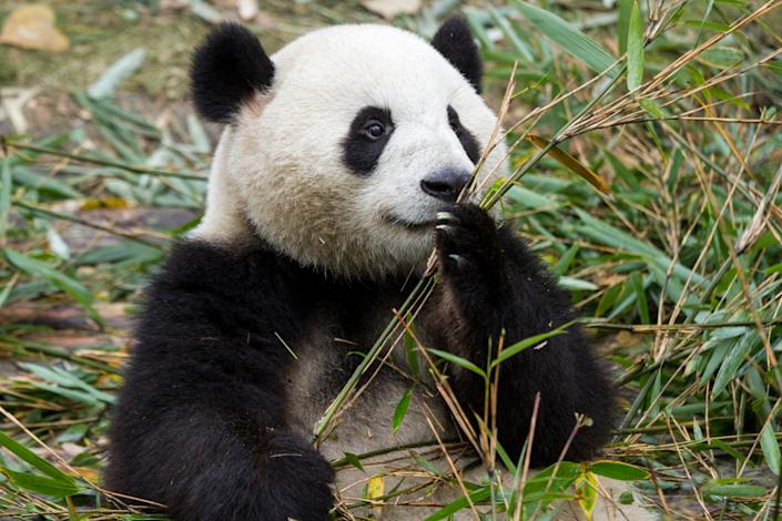 China, Sichuan Province, Chengdu, Giant Panda Bear (Ailuropoda melanoleuca) feeding on bamboo shoots at Chengdu Research Base of Giant Panda Breeding