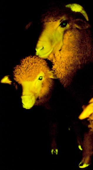 According to the institute, this is the first time that transgenic lambs have been produced in Latin America.