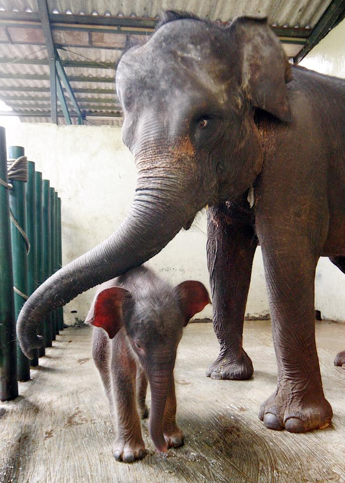 Noni, a four-day baby Sumatran Elephant (Elephas maximus sumatrensis), walks near her mother Intan at Taman Safari park in Bogor, West Java, Indonesia, Tuesday, May 23, 2006. (AP Photo/Achmad Ibrahim)