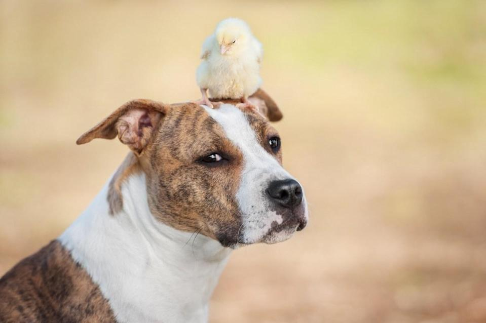 Do chicks and dogs have an agreement we don't know about? Either way, we'll admit that it's pretty adorable!