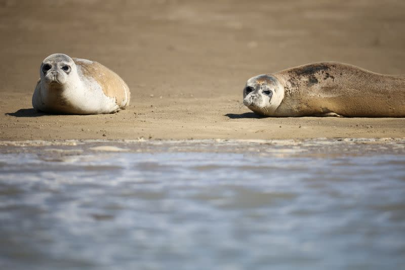 The Annual Thames seal survey carried out by the Zoological Society of London