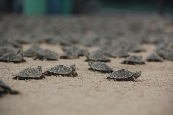 These not-so-giant babies will become giant South American river turtles.