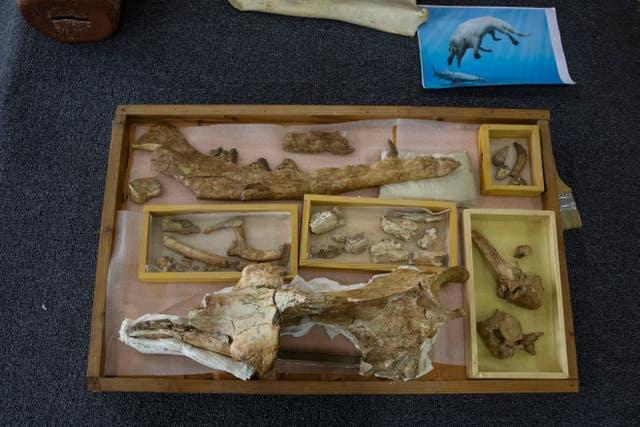Whale fossil