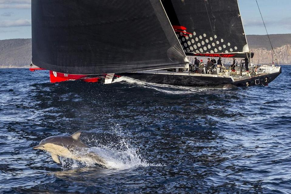 A dolphin follows US supermaxi yacht Comanche heading to the finish in the Sydney to Hobart race on December 28, 2015 (AFP Photo/Stefano Gattini)