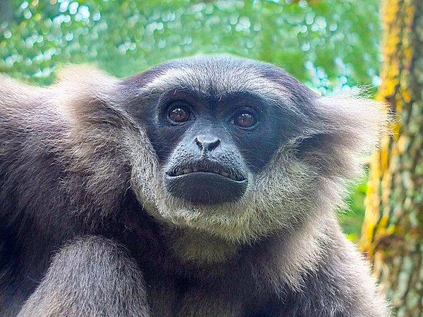 Bali Zoo Has Successfully Released an Endangered Silvery Gibbon into The Wild