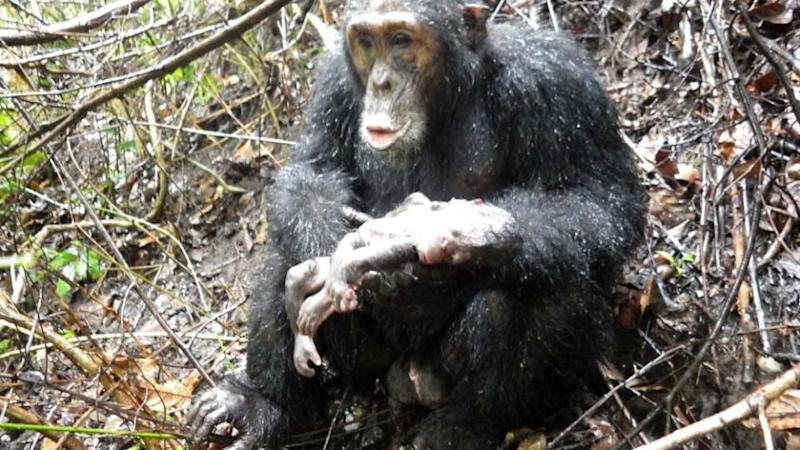 Male_Chimp_Holding_Dead_Baby