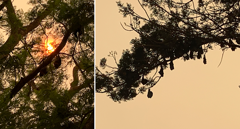 Split screen. Bats against the orange sun and bats roosting on a branch in silhouette.