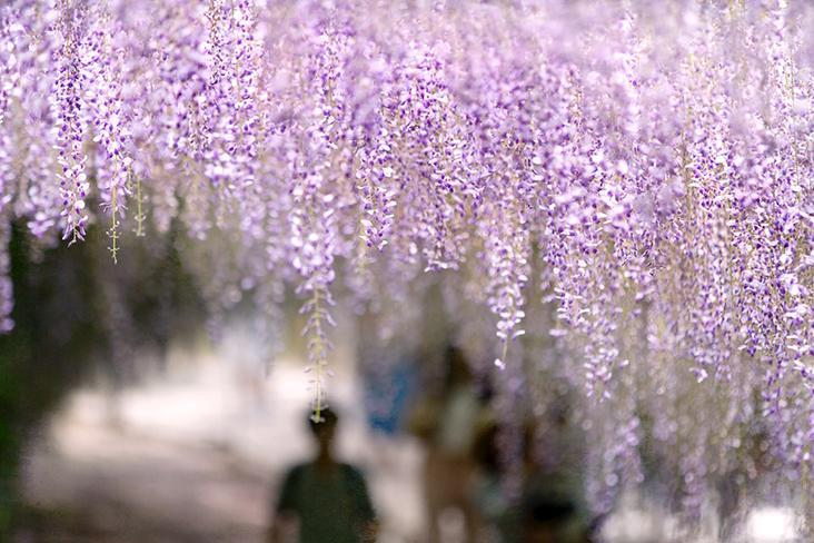 Fleeting flowers: 'Fuji', as wisteria is known in Japanese, blooms in the month of May. — Pictures by CK Lim