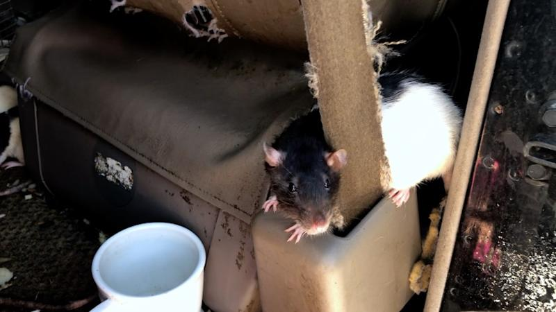 A rat in the van (San Diego Humane Society)