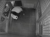 A image shows a giant panda Shin Shin gives a birth the first of her twin pandas at Ueno Zoological Park in Tokyo