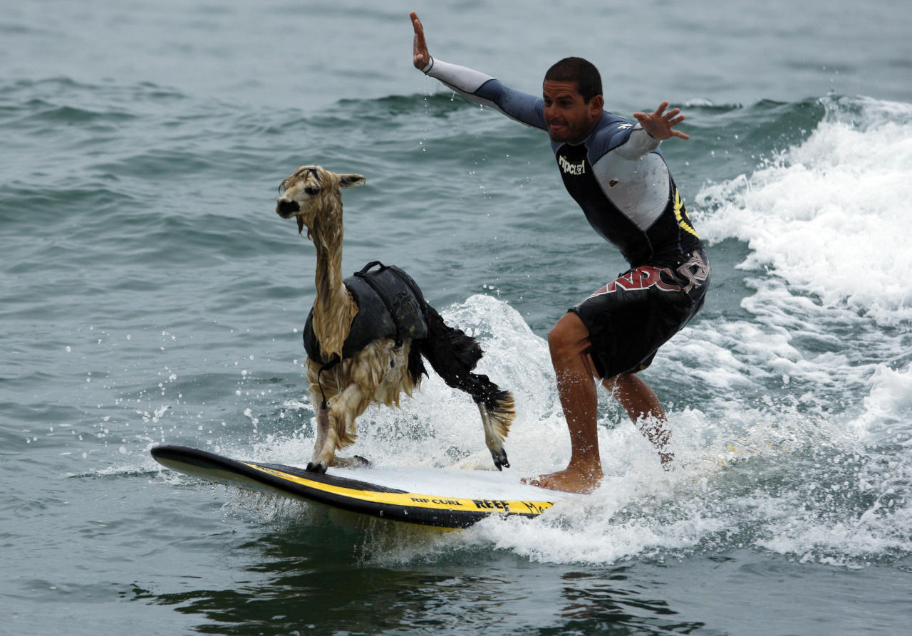 Peruvian surfer Domingo Pianezzi rides a wave with his alpaca Pisco at San Bartolo beach in Lima March 16, 2010. Pianezzi has spent a decade training dogs to ride the nose of his board when he catches waves, and now he is the first to do so with an alpaca. 