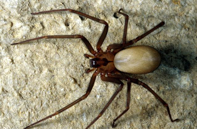 Brown recluse spiders are common household pests in some states. (Photo: Getty Images)