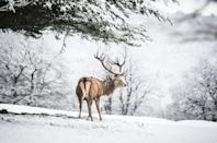 <p>Red Deer Stag in the snow, part of a captive herd in Chatsworth Park, Derbyshire.</p>