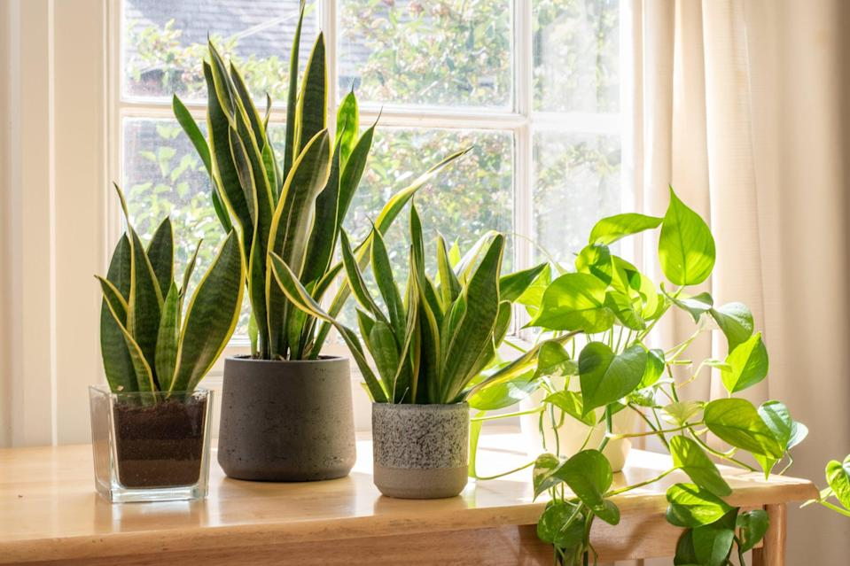 Indoor houseplants next to a window in a beautifully designed home or flat interior.
