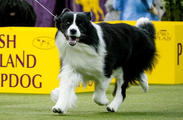 <p>Slick, a border collie walks during judging of the herding group at the 142nd Westminster Kennel Club Dog Show in New York, Feb. 12, 2018. (Photo: Brendan McDermid/Reuters) </p>