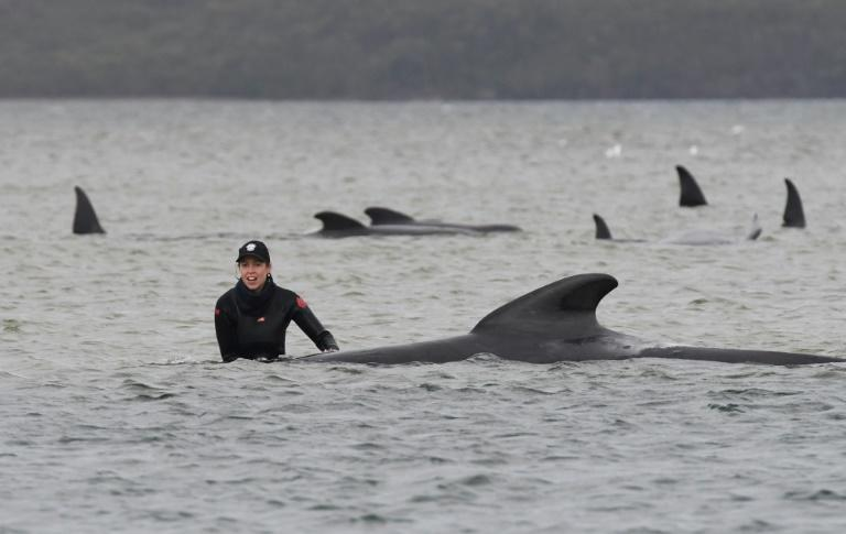 Rescuers race to save scores of stranded whales in Australia