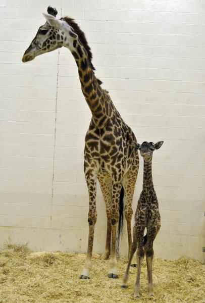 In this photo provided by the Cincinnati Zoo, 7-year-old giraffe Tessa stands next to her new calf born earlier in the morning, Monday, April 28, 2014, in Cincinnati. The zoo posted photos of the big arrival online but the baby isn't expected to be on public view for several days. (AP Photo/Cincinnati Zoo, Michelle Curley)