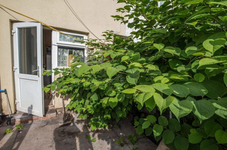 They have tried several ways to get rid of the knotweed – with no success (Caters)