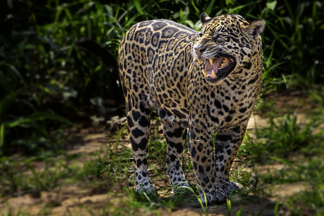 Jaguars are also on the agenda for the convention (Picture: Getty)