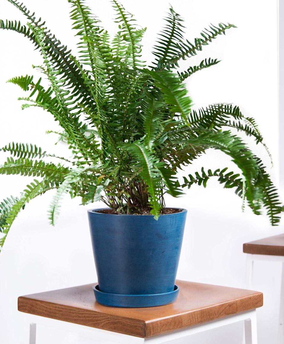 "<p>If you have pets, this <a href=""https://www.popsugar.com/buy/Potted-Kimberly-Queen-Fern-Indoor-Plant-406695?p_name=Potted%20Kimberly%20Queen%20Fern%20Indoor%20Plant&retailer=bloomscape.com&pid=406695&price=65&evar1=casa%3Aus&evar9=47423087&evar98=https%3A%2F%2Fwww.popsugar.com%2Fphoto-gallery%2F47423087%2Fimage%2F47423335%2FPotted-Kimberly-Queen-Fern-Indoor-Plant&list1=shopping%2Chouse%20plants%2Cplants%2Chome%20decorating%2Cdecor%20shopping%2Cbloomscape&prop13=api&pdata=1"" class=""link rapid-noclick-resp"" rel=""nofollow noopener"" target=""_blank"" data-ylk=""slk:Potted Kimberly Queen Fern Indoor Plant"">Potted Kimberly Queen Fern Indoor Plant</a> ($65) is safe to have.</p>"