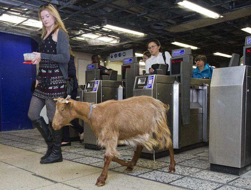 A goat named 'Barney' walks through a ticket barrier with morning commuters at Vauxhall Underground Station in London, on August 28, 2014, during a photocall to launch Transport for London's first 'above ground map' of the Victoria line