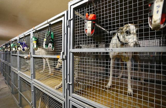 The greyhounds sprint around the track for 30 seconds -- then must return to their cages to wait two or three days for their next 30-second race (AFP Photo/RHONA WISE )