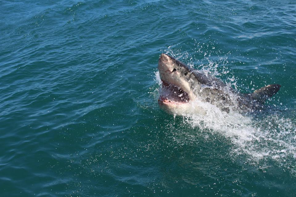 A total of 57 confirmed and unprovoked shark bites and 39 provoked bites took place on humans last year (Alex Steyn/Unsplash)