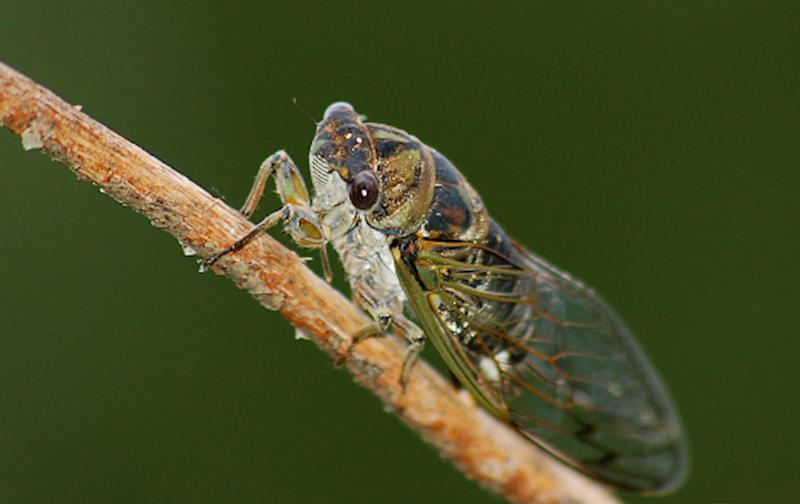 Millions of cicadas set to emerge from hiding after 17 years