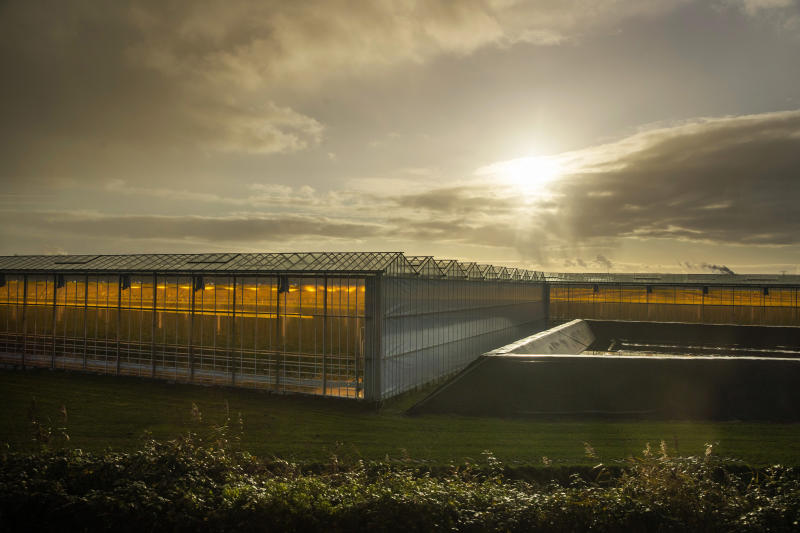 In this Friday Nov. 29, 2019, image, Plants grow with artificial lights and regulated climate conditions in greenhouses near Gouda, Netherlands, Friday, Nov. 29, 2019. The Dutch government aims to drastically reduce energy and gas consumption in the greenhouse horticulture sector and from 2020 all new greenhouses must by climate-neutral. The two-week Climate Summit COP25 with delegates from over 200 countries has begun in Madrid and seeks to step up efforts to stop global warming. (AP Photo/Peter Dejong)