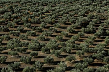 Olive trees stand in a grove in Porcuna, southern Spain