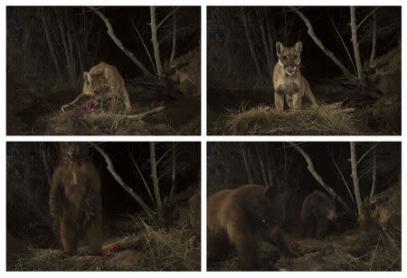Combination of handout photos of a mountain lion known as P-35 shown with a kill that was later consumed by bears in the Santa Susana Mountains in Southern California