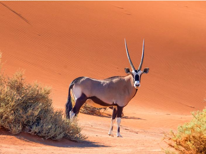 An oryx in Africa.