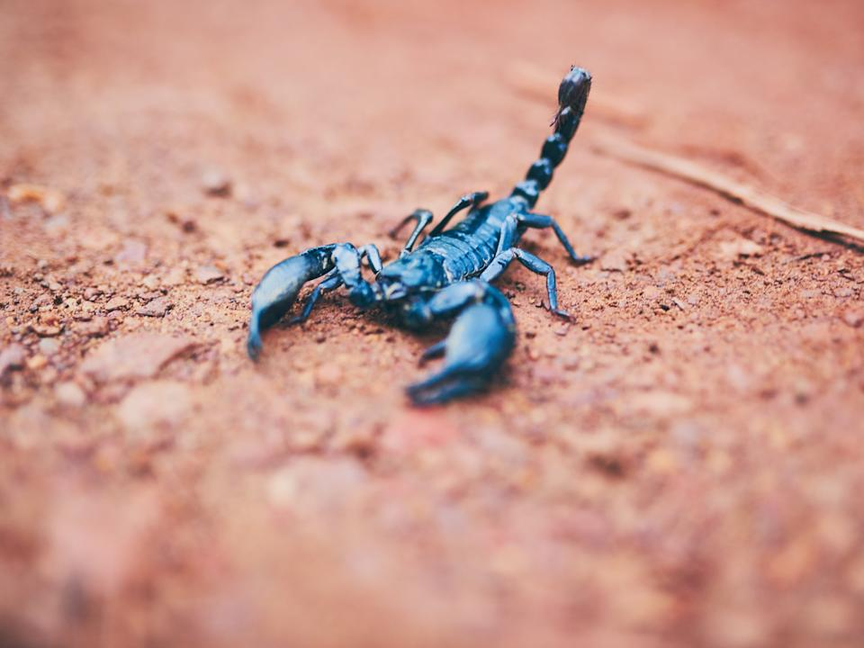 A scorpion was found on a flight in Brazil (Getty Images/iStockphoto)