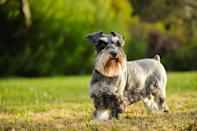 """<p>The AKC reports that this dog is <a href=""""https://www.akc.org/dog-breeds/miniature-schnauzer/"""" rel=""""nofollow noopener"""" target=""""_blank"""" data-ylk=""""slk:the smallest of all the Schnauzers"""" class=""""link rapid-noclick-resp"""">the smallest of all the Schnauzers</a>, at just 11 to 20 pounds. If you're looking for a tiny dog, you're best off with the Mini versus the Standard or Giant Schnauzers — the latter of which <a href=""""https://dogtime.com/dog-breeds/giant-schnauzer#/slide/1"""" rel=""""nofollow noopener"""" target=""""_blank"""" data-ylk=""""slk:can reach 80 pounds"""" class=""""link rapid-noclick-resp"""">can reach 80 pounds</a>, according to Dogtime.com</p>"""