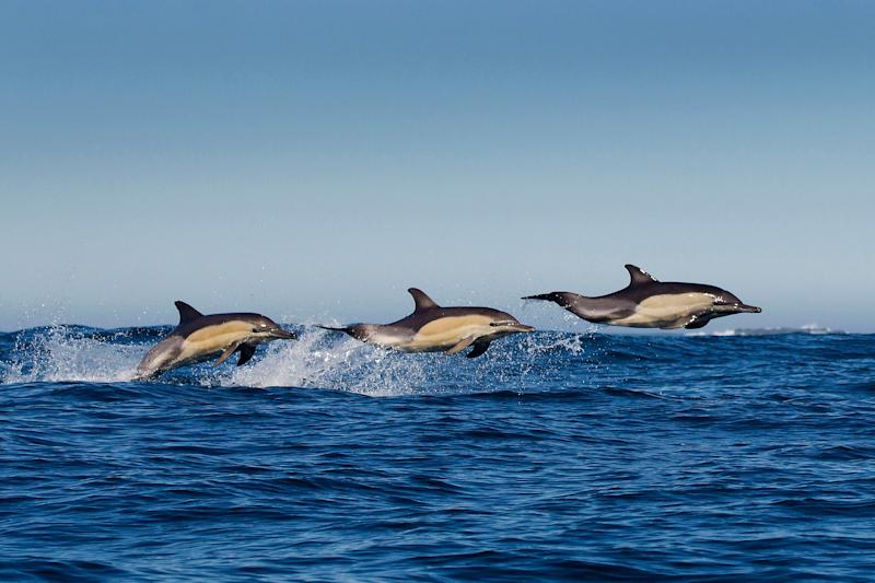 Photographer Grant Atkinson luckily caught the moment when three dolphins leapt out of the water (Caters)