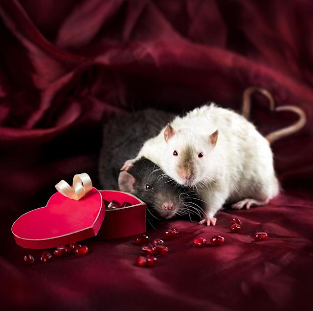 """<p>Diane said: """"Rats usually move quite fast, they are very curious and always eager to explore their surroundings and play."""" (Diane Ozdamar/Caters News) </p>"""