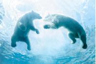 <p>They might be the largest meat eaters on land, but when it comes to marine mammals, there are other creatures—like the fearsome orca—that beat out the mighty polar bear. Still, polar bears spend so much time on Arctic sea ice that they've been classified as marine mammals.</p>