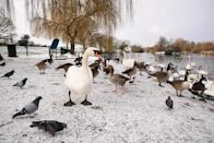 Swans and pigeons stand on the snow-covered ground in Harrow Lodge Park, Hornchurch, Essex
