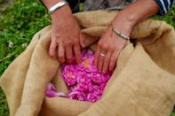 Valuable rose petals are gathered in burlap sacks before they are taken to extraction vats (AFP Photo/VALERY HACHE)