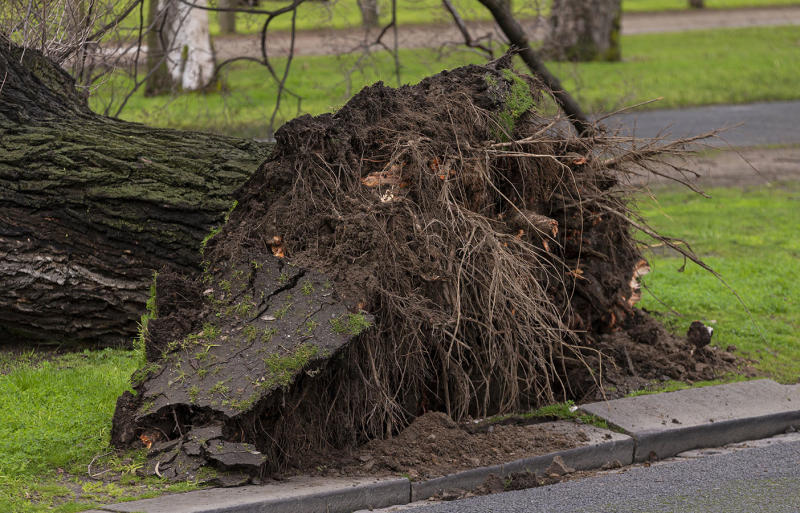 The roots of a fallen tree are seen in Parkville, Melbourne after falling on a woman and killing her on Monday.